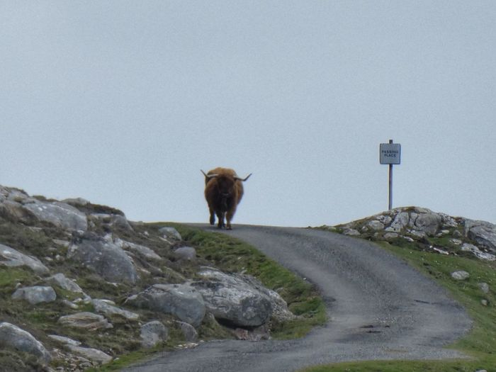 Heavy traffic on Isle of Harris Highland Cattle Scotland Outer Hebrides VisitScotland Isle Of Harris Highland Cow Highland Cattle Mammal Animal Themes Animal Domestic Animals One Animal Vertebrate Nature Livestock Road Sky Day Land Standing No People Herbivorous