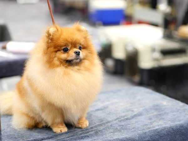 Cute pomeranian Competition Table Look Look Forward Pets Dog Animal Domestic Animals One Animal Animal Themes Pomeranian Cute Portrait Mammal No People Puppy Day Outdoors Close-up