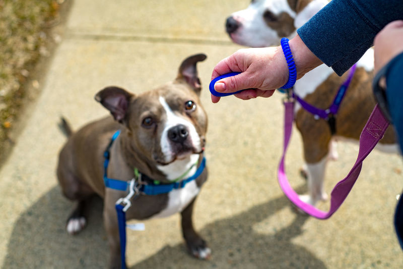 Domestic One Animal Pets Domestic Animals Mammal Canine Dog One Person Human Hand Hand Pet Leash Day Focus On Foreground Leash Vertebrate Human Body Part Real People Pet Owner Outdoors Dogs Bullboxer Staff Orion Nebula Dog Training Clicked Clicker