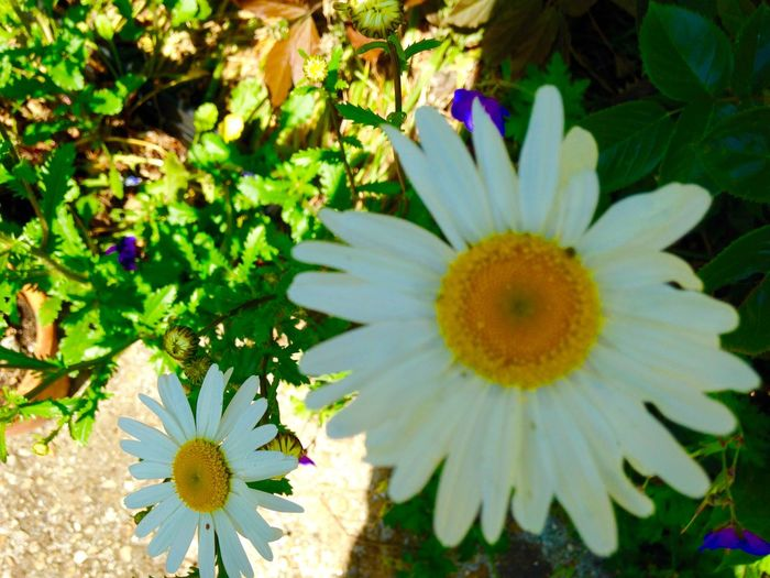 Good old daisies Growing Our Own