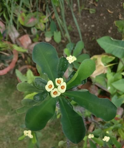 Beauty In Nature Blooming Close-up Day Flower Flower Head Fragility Freshness Green Color Growth High Angle View Leaf Nature No People Outdoors Periwinkle Petal Plant
