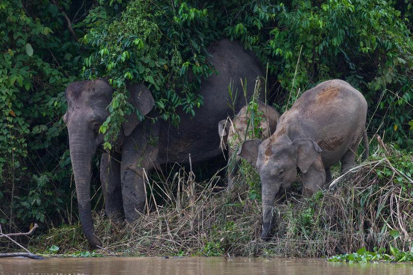 Borneo Pygmy Elephants Elephant Animals In The Wild Baby Animals Kinabatangan River Malaysia Sabah Borneo Canon Eos5d EyeEmNewHere
