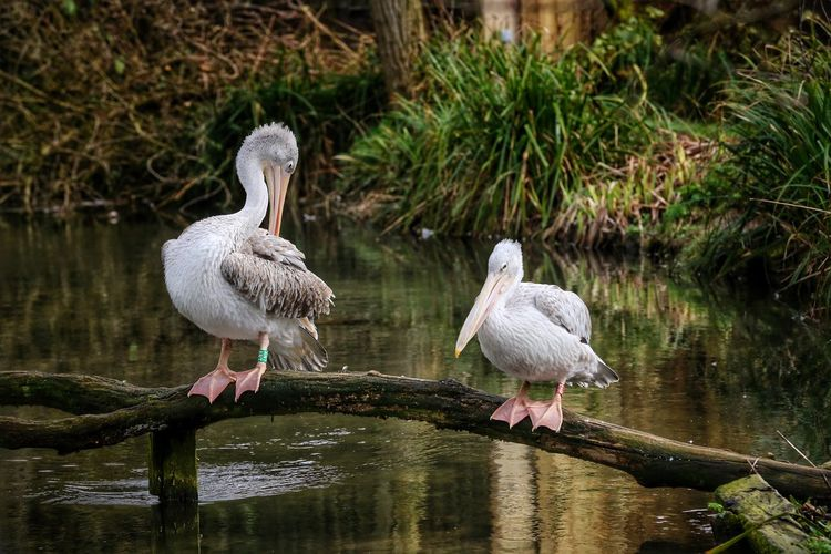 Animal Themes Animal Wildlife Animals In The Wild Beauty In Nature Bird Birdland Bourton On The Water Cheltenham Day Lake Nature No People Outdoors Pelican Pelicans Perching Reflection Stork Togetherness Water