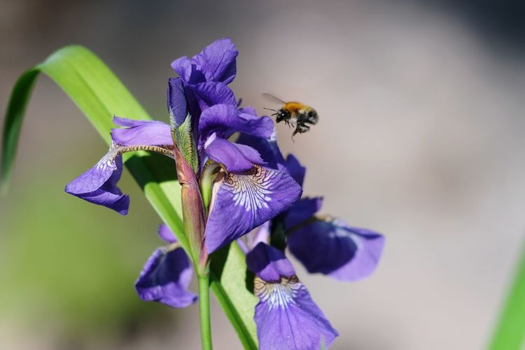 Hummel umzingelt eine Iris 🌻🐝 Hummel Bumblebee Iris Beauty In Nature Selective Focus Flower Head Flower Bee Petal Insect Perching Purple Pollination Leaf Uncultivated Honey Bee Flowering Plant In Bloom Bumblebee Blossom Pollen Blooming Botany