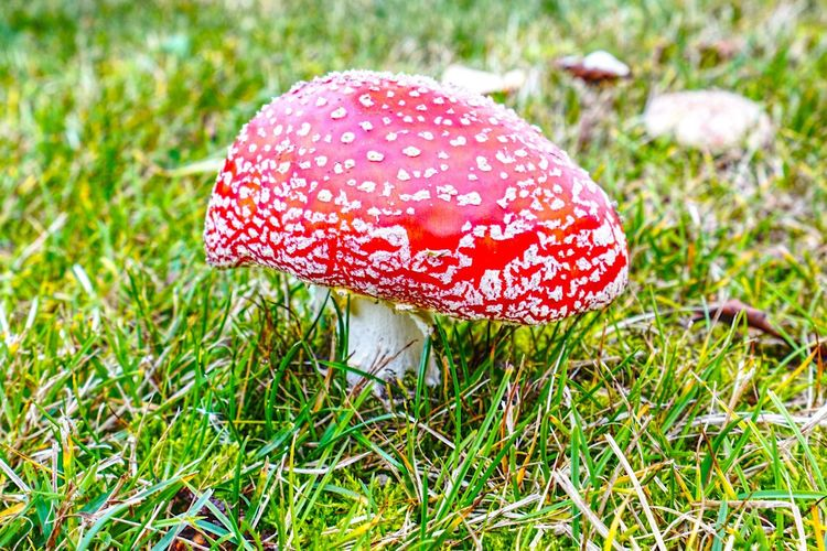 Fliegenpilz Fliegenpilz Mushroom Fungus Plant Fly Agaric Mushroom Growth Grass Red Grass Plant No People Day Spotted Beauty In Nature