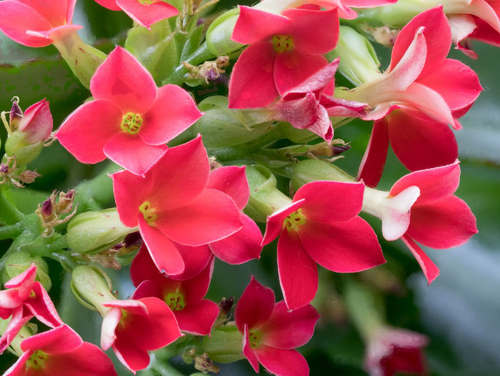 Pink Kalanchoe Saxifragales Crassulaceae.Selective focus Saxifragales Beauty In Nature Blooming Close-up Day Flower Flower Head Fragility Freshness Growth Kalanchoe Flower Nature No People Outdoors Petal Pink Color Plant