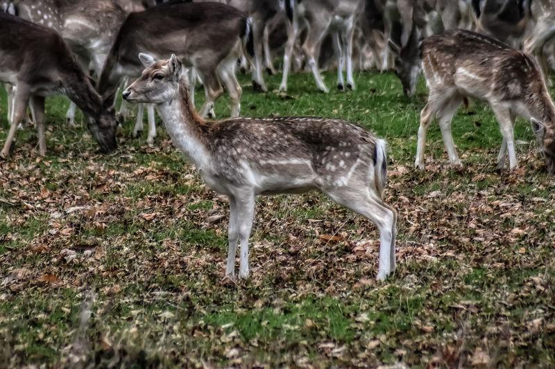a beautiful deer (fawn) Malephotographerofthemonth Nature Photography Wildlife & Nature Nature Wildlife Photography Deer Fawn Grazing Field Grass Fawn Deer Herd Wildebeest Herbivorous
