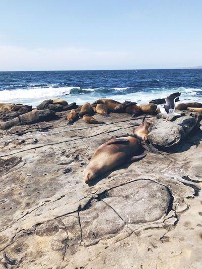 Sealion  Daysleep Beach Life