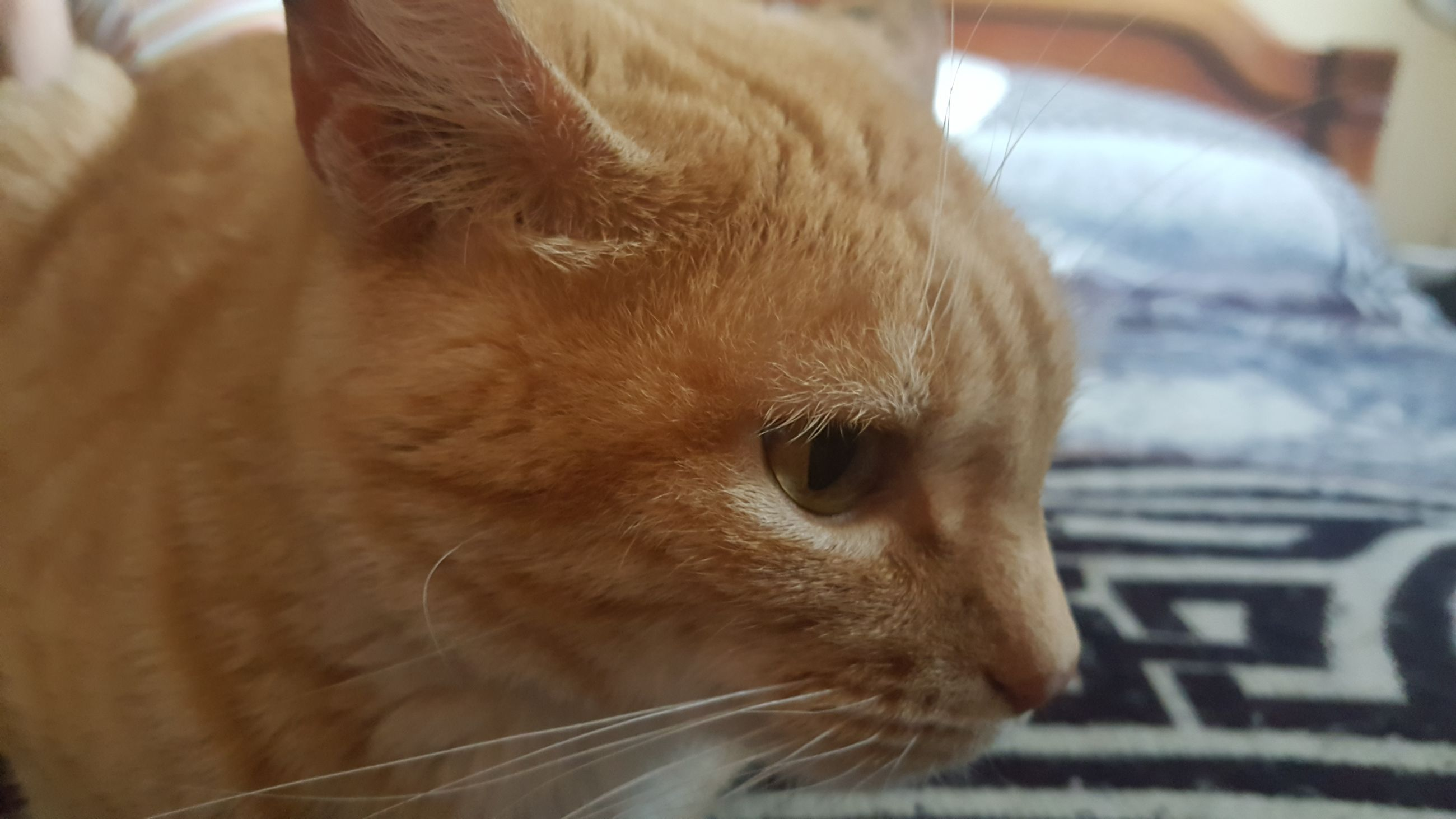 one animal, pets, animal themes, mammal, domestic animals, close-up, whisker, indoors, domestic cat, focus on foreground, no people, feline, ginger cat, day