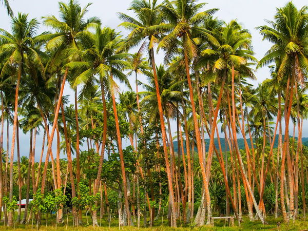 Palms Trees Efate Island Vanuatu Beauty In Nature Day Efate Island Futuna Island, Vanuatu Green Color Growth Landscape Mele Village Nature No People Outdoors Pacific Pacific Ocean Palm Tree Palm Tree Plant Sky Tourist Attraction  Travel Tree Vanuatu Vivid International