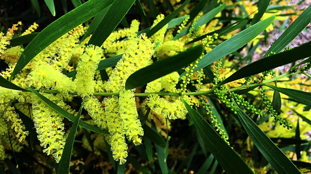 Australian Flora Wattle Flowers Wattle Tree Flowers Wattle Tree Wattle Flower Wattle Green Color Growth Leaf Plant Nature Close-up Day Beauty In Nature Freshness