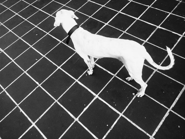 White Black Dogs Of EyeEm Bnw India Blackandwhite Monochrome Prespective Illusion Lines Floor Tiles Architecture Abstract Black Background Afternoon Outdoors Terrace Animal Themes Animal Pets Pets Of Eyeem The Week on EyeEm EyeEm Best Shots EyeEm Gallery EyeEm Best Shots - Black + White EyeEm Selects Dog Pet Collar Canine EyeEmNewHere