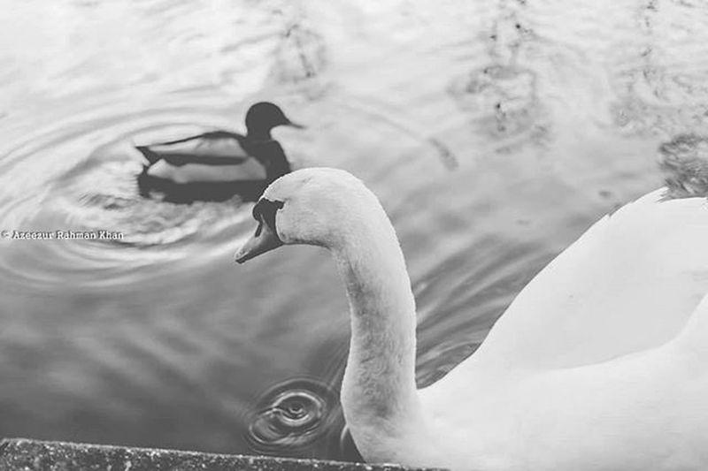 By the duck pond HemelHempstead Nature Naturephotography Birds Ducks Swan Water Graceful Beautiful Majestic Enjoydacorum Bnwmood Natureporn Resourcemag Bwzgz Pob_bnw Rsa_blackandwhite Rsa_bnw Prophotographers Procanon Forsale Photos4sale Blackandwhite Fineart Art artlovers bnw monochrome uk azeezkhanphotography