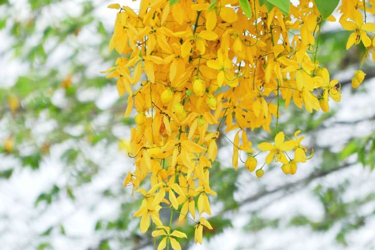 Cassia Fistula Flowers Beauty In Nature Cassia Fistula Cassia Fistula Flowers Close-up Day Flower Freshness Growth Natural Beauty Nature Nature Nature Photography No People Outdoors Yellow Yellow Color Yellow Flower ดอกราชพฤกษ์ ดอกราชพฤกษ์ Golden Shower Flowers ดอกไม้ (Flower) ดอกไม้สีเหลือง ราชพฤกษ์