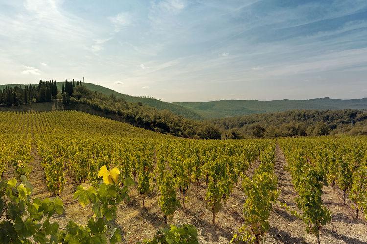 Idyllic shot of vineyard against sky