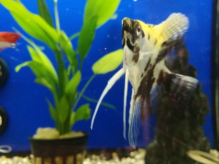 One Animal Animal Themes Water Animals In The Wild Animal Wildlife Animals In Captivity Aquarium Blue Swimming Underwater Sea Life UnderSea Escalar Fish