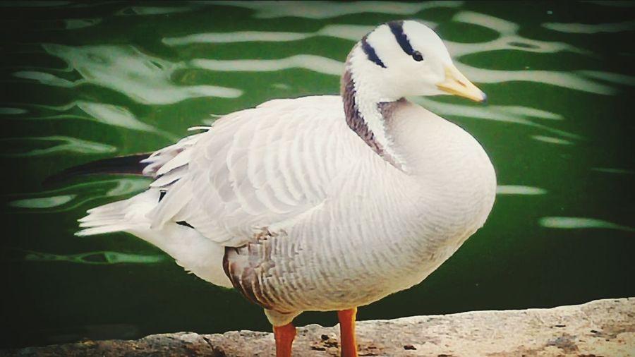 Palmipède Palmiped Oiseaux Birds_collection Nature Photography Birds Of EyeEm  Bird Photography Aquatique