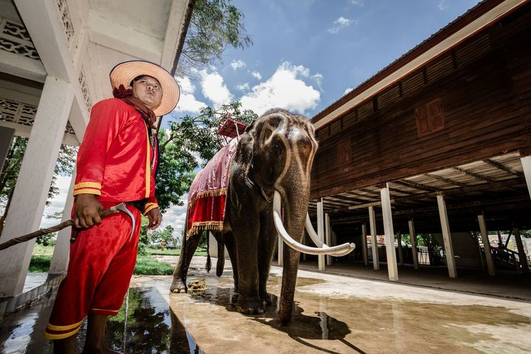 chang surin One Animal One Person Country Life Elephant Elephant Thailand Photocolor