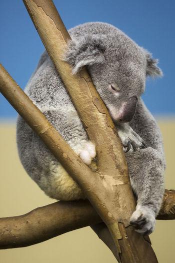 Close-up of koala resting on branch