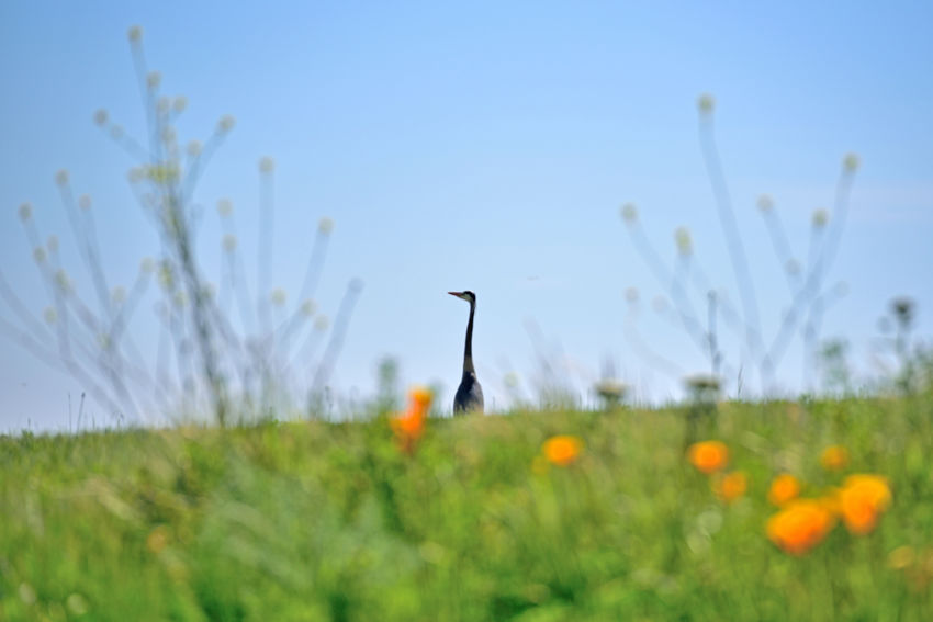 Great Blue Heron On A Grassy Knoll 1 Ardeidae Ardea Herodias Wading Bird Quiet Stalker Forager Largest North American Heron Common Near Shores Of Open Water Wetlands Fresh Or Saltwater Habitant Marshes Coasts Riverbanks Sloughs Lakes  Ponds Grasslands Diet: Fish,crustaceans, Rodents,insects,reptiles Small Mammals,amphibians, Birds Swallow Whole Birds🐦⛅ Birdwatching Birds_collection Bird Photography Middle Harbor Great Blue Heron