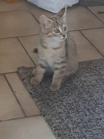 Domestic Cat Pets Domestic Animals Kitten No People Indoors  Cute