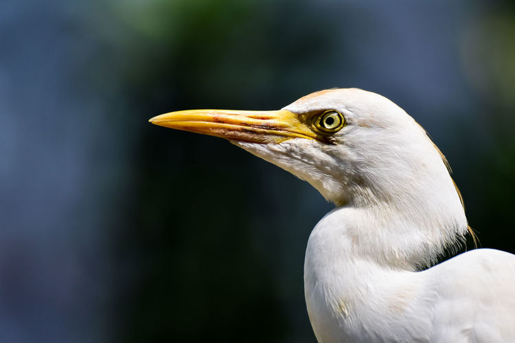 Headshot of white crane bird with blur background. wildlife photography.