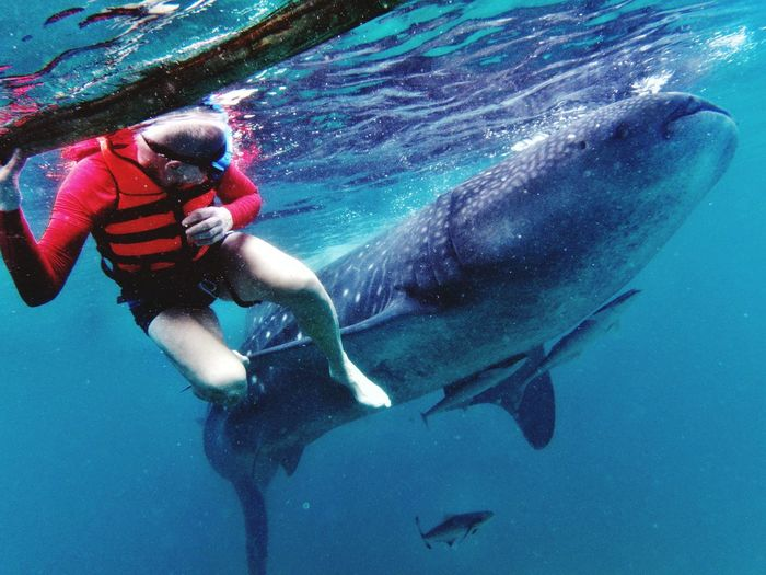 walhai Philippinen Oslob Oslobcebu Oslob Cebu Snorkeling UnderSea Scuba Diving Underwater Sea Water Sea Life Whale Shark Adventure Swimming Blue Whale Diving Fish