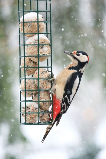 Close-up of woodpecker perching on bird feeder during winter