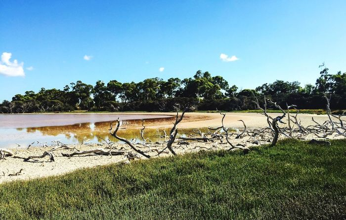 Drying Out: Lake Coogee Reserve Tall Grasses Green Grass Grasses Western Australia Wetland Drought Lake Coogee Swamp Landscape Wetland Landscape Nature Water Lake Conservation Trees Dried Out Branches Leafless Tree
