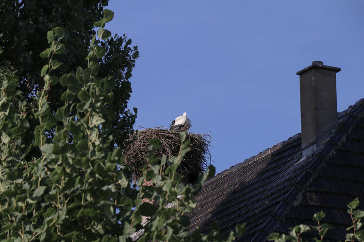 Typical for this area, a stork on a roof top Alsace Animal Animal Themes Animal Wildlife Animals In The Wild Architecture Bird Building Building Exterior Built Structure Clear Sky Day House Low Angle View Nature No People Outdoors Plant Roof Roof Tile Sky Stork Tree Vertebrate