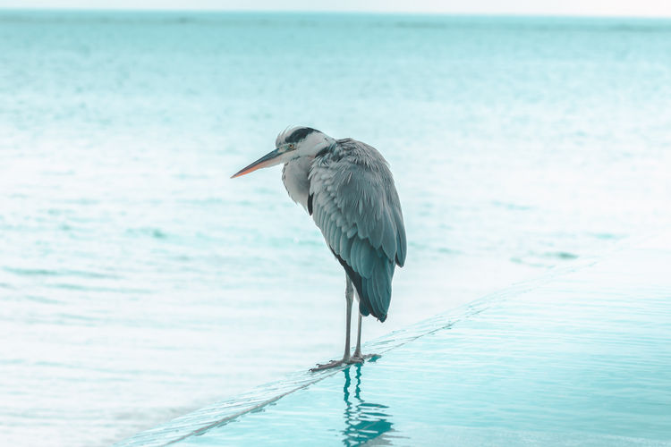 High angle view of gray heron perching on railing by sea