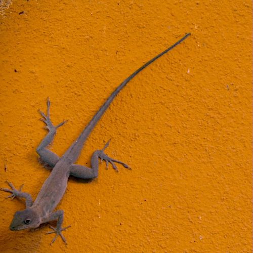 ~|<> W Λ L L Γ U Ν <>|~ Lizard Orange Climbing Run Wall Colorsplash Streetphotography Colorful