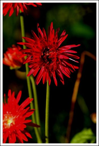 Flower Red Freshness Flower Head Petal Beauty In Nature Nature Outdoors Plant No People Fragility Day Close-up