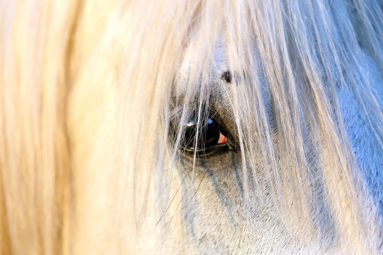 Extreme closeup of beautiful young grey colored arabian mare against natural background at sunset golden hour Arabian Breed Barn Beautiful Portrait Beauty Black Color Closeup Corral Day Domestic Animal Equestrian Life Equine Extreme Eye Eyes Close Up Face Farm Horses Farmers Market Farming Filly Gray Grey Head Shot  Herding Long Mane Looking Backwards Mammal Meadow Natural Background Nature Nobody Outdoor Outdoors Paddock Purebred Animals Ranch Riding Rural Scene Saddles Shagya Arab Side View Space Sport Stable Horse Stallion Stud Summer Season Sun Sunset Background Thoroughbred Horse White Color One Animal Animal Animal Themes Domestic Domestic Animals Canine Dog Pets Animal Body Part No People Animal Eye Close-up Hair Animal Hair Animal Head  Vertebrate Animal Wildlife Full Frame