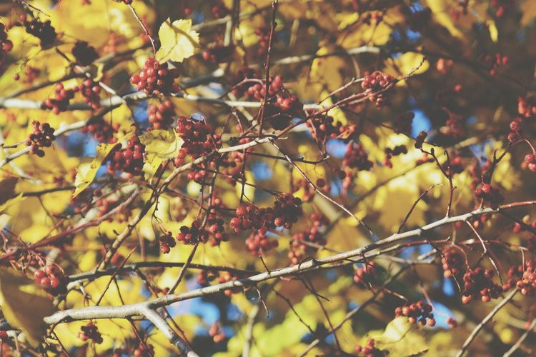 Bush Berries Red Yellow Leaves Autumn Autumn Colors Fall Saint Petersburg