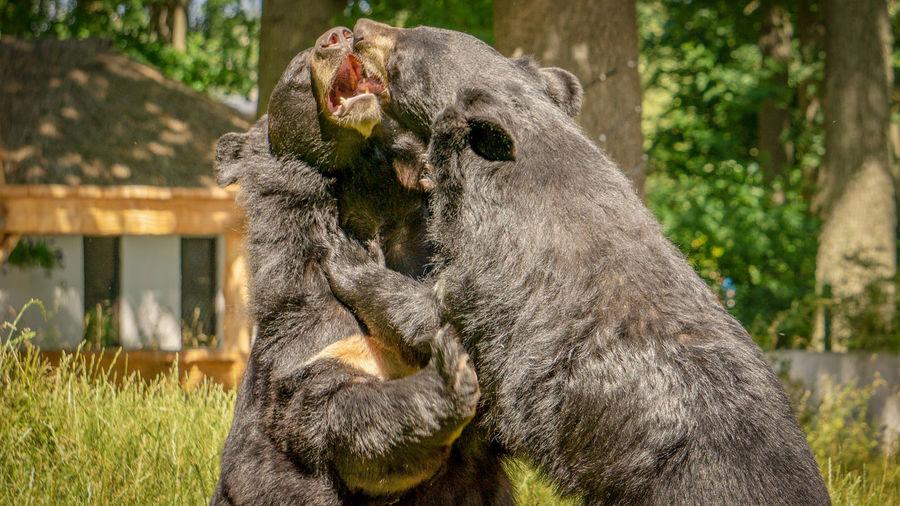 Nature Fight Black Bear EyeEm Selects Tree Close-up Zoo