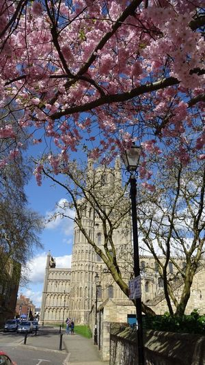 View of cherry tree with buildings in background