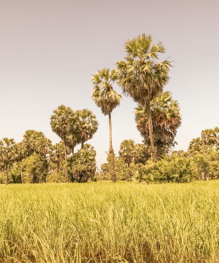 sugar palm tree Rice Field Rice Sugar Palm Tree Thailand Songkhla Province Tree Nature Sky Outdoors Growth Field Cloud - Sky Grass Landscape Day No People Plant Rural Scene
