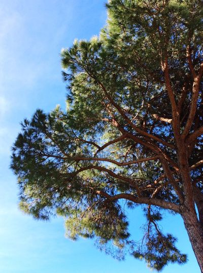 Pinien Baum Nature Gross Schön
