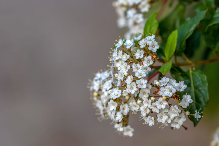 Flowering Plant Flower Plant Freshness Fragility Vulnerability  Beauty In Nature White Color Close-up Growth Focus On Foreground Nature Day Petal Flower Head Inflorescence Selective Focus No People Outdoors Springtime Bunch Of Flowers Cherry Blossom