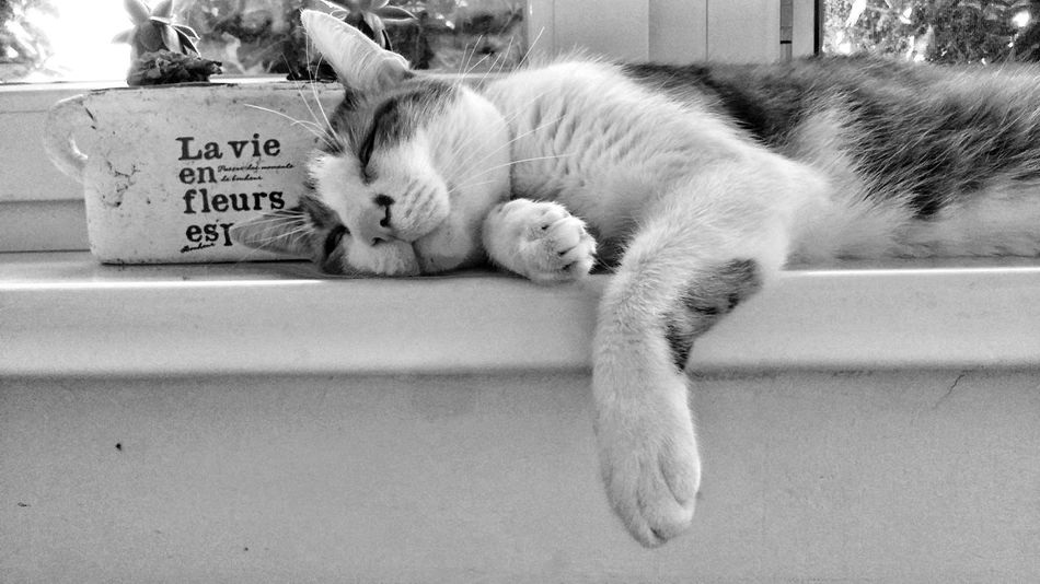 Cat Summer Heat Resting Resting Time In The Window Lazy Black And White Photography Szeged Hungary Mood Capture The Moment I Am Staisfied With It Monochrome Photography