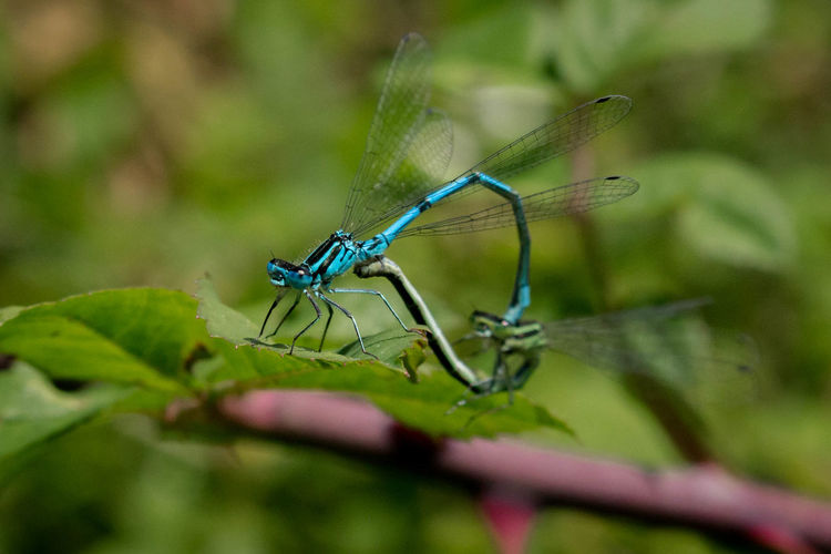 Damselflies Close-up Damselflies Damselfly Damselfly Mating Fun Heart Shape Insect Love Love Making Nature Summer Fun