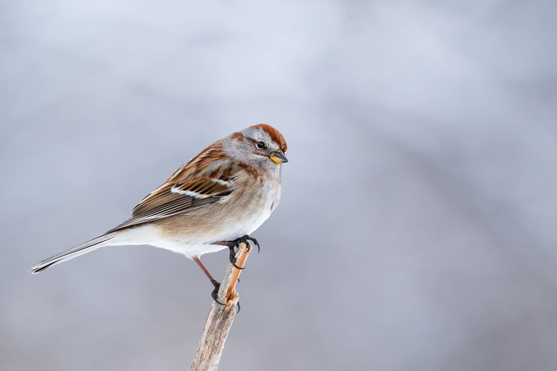 American Tree Sparrow, Spizella Arborea, perched on a branch and making eye contact American Tree Sparrow Animal Themes Animal Wildlife Animals In The Wild Bird Close-up Day Focus On Foreground Nature No People One Animal Outdoors Perching Robin Songbird  Sparrow Spizella Arborea