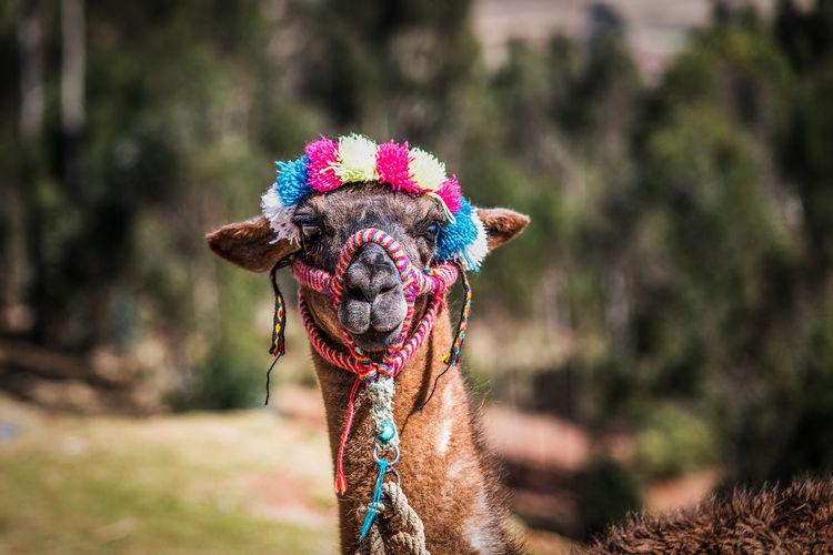 Close-Up Portrait Of Llama On Field
