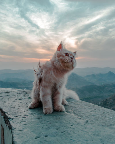 Cat looking away on mountain against sky