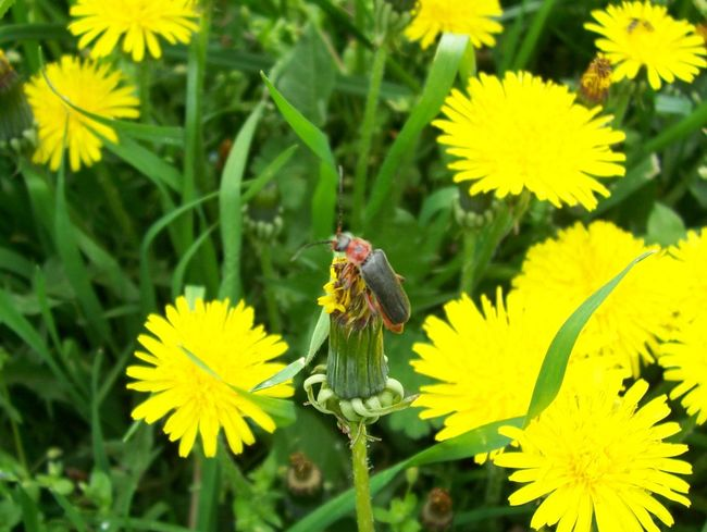 Nature Yellow Flower Bug On A Flower Dandelion