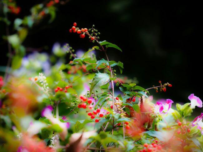 和柄みたい!秋って楽しみがいっぱいだね!Autumn Colors Fruit Growth Close-up Nature Horizontal Flower Beauty In Nature Leaf Social Issues No People Agriculture Outdoors Berry The Natural World Food Branch Freshness Day Japanese Style Beauty In Nature Olympus Bokeh EyeEm Masterclass From My Point Of View