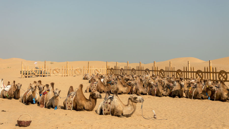 Panoramic view of horse in desert against sky