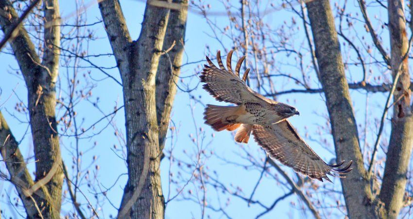 Red tailed hawk flying through the woods Red Tailed Hawk Red Tail Hawk RedTails Soaring Birds Soaring Hawk Animal Themes Animal Wildlife Animals In The Wild Beauty In Nature Bird Bird Of Prey Branch Flying Flying Bird Flying In The Wind Gliding Hawk Hawks Mid-air Nature One Animal Spread Wings Tree Trunk
