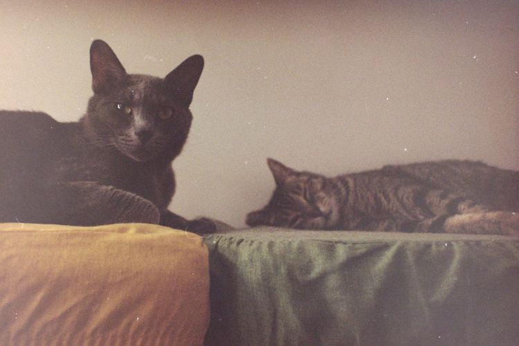 Kodak Low Light Animals Cat Cats Chartreux Domestic Domestic Animals Domestic Cat Feline Film Photography Filmcamera Indoors  Looking At Camera Lying Down No People Pets Portrait Sleeping Sofa